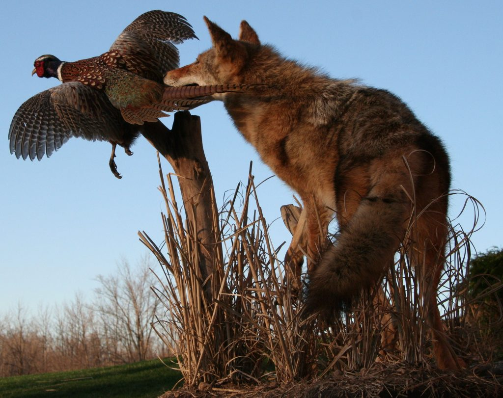 Coyote and Pheasant