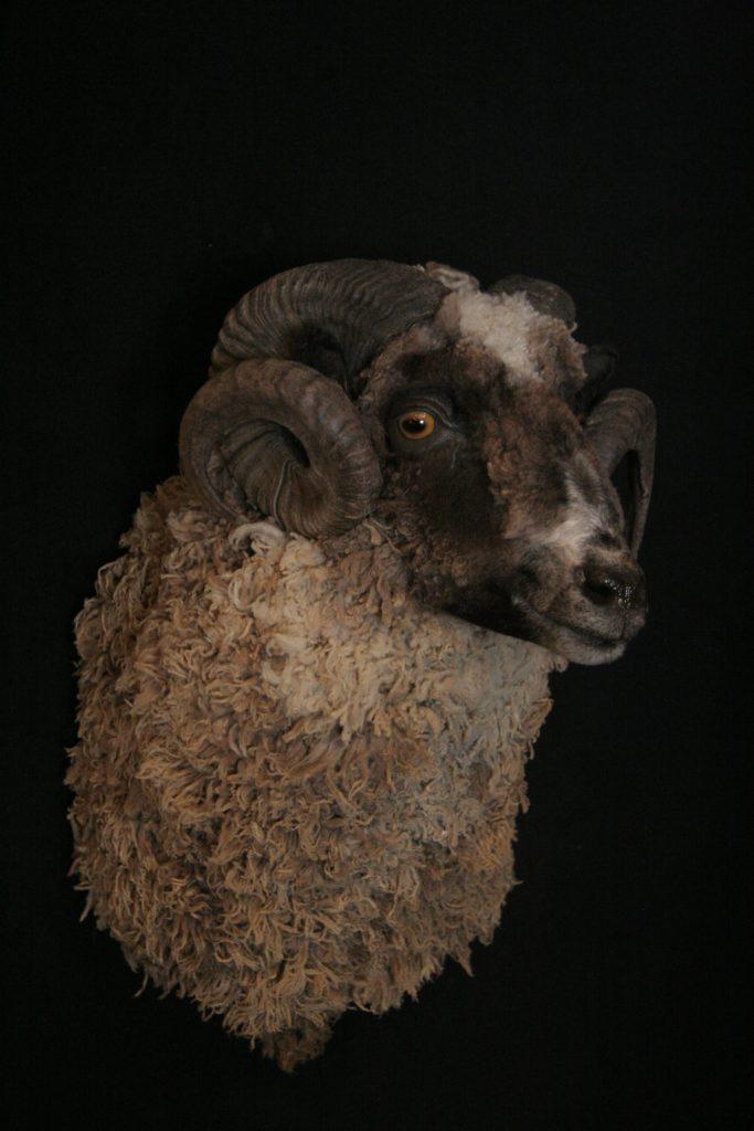 Arapawa Ram