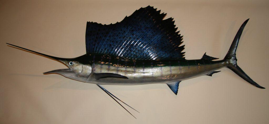 Atlanitc Sailfish Reproduction