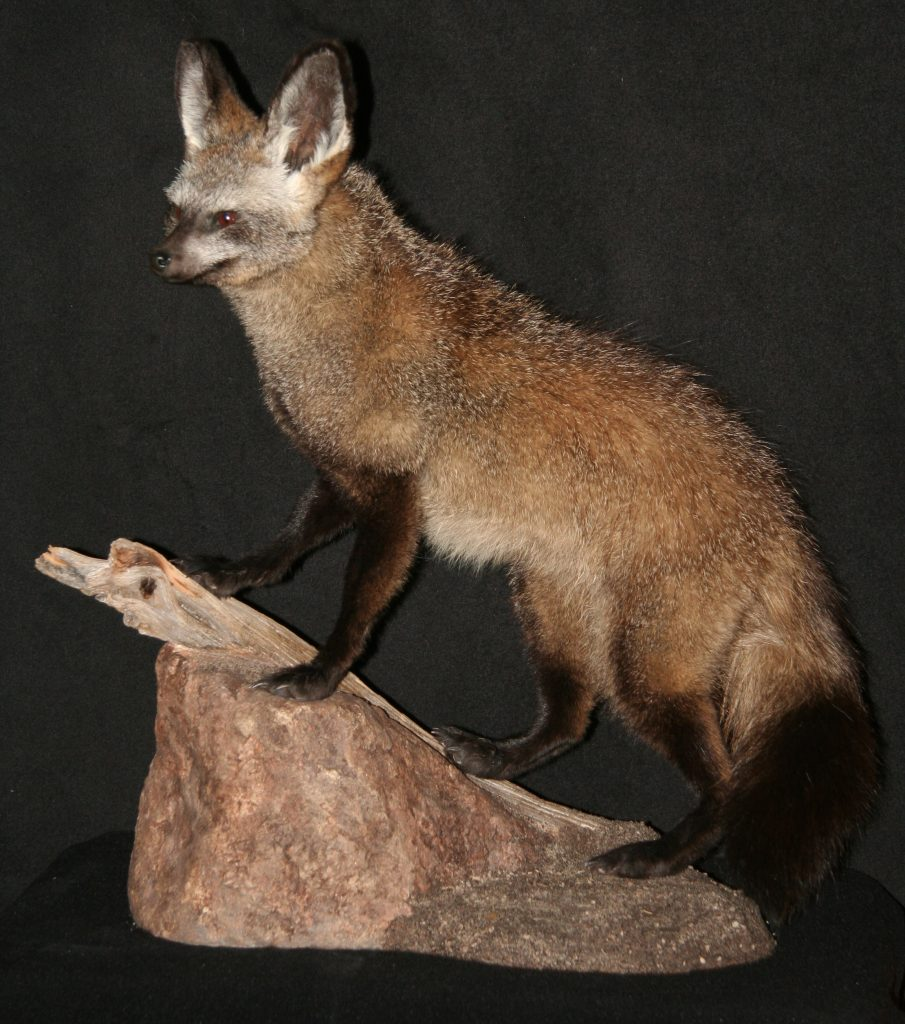 Bat-Earred Fox