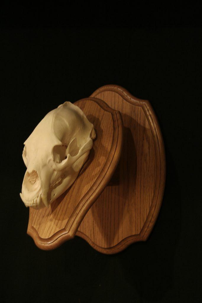 Bear Skull Mount