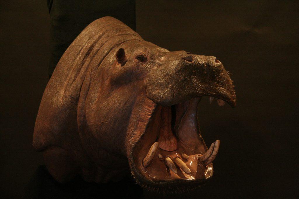 Hippopotimus