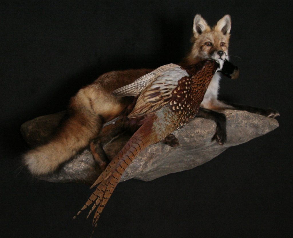 Red Fox and Pheasant
