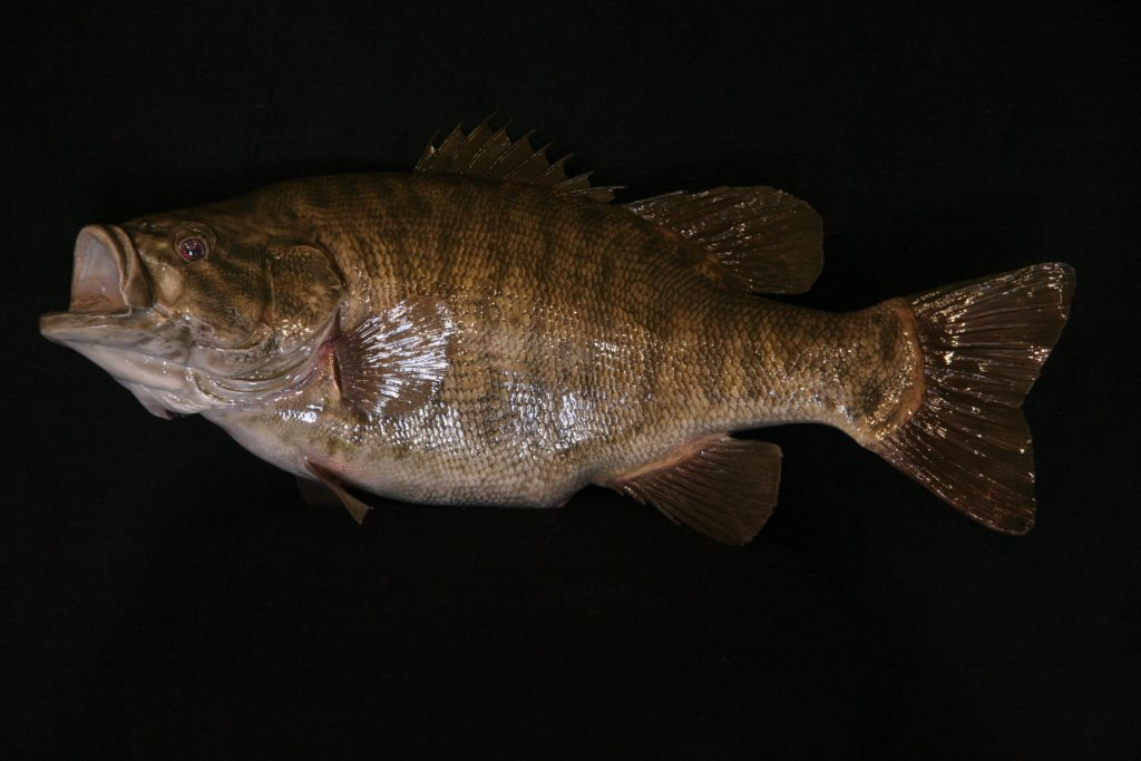 Small Mouth Bass Reproduction
