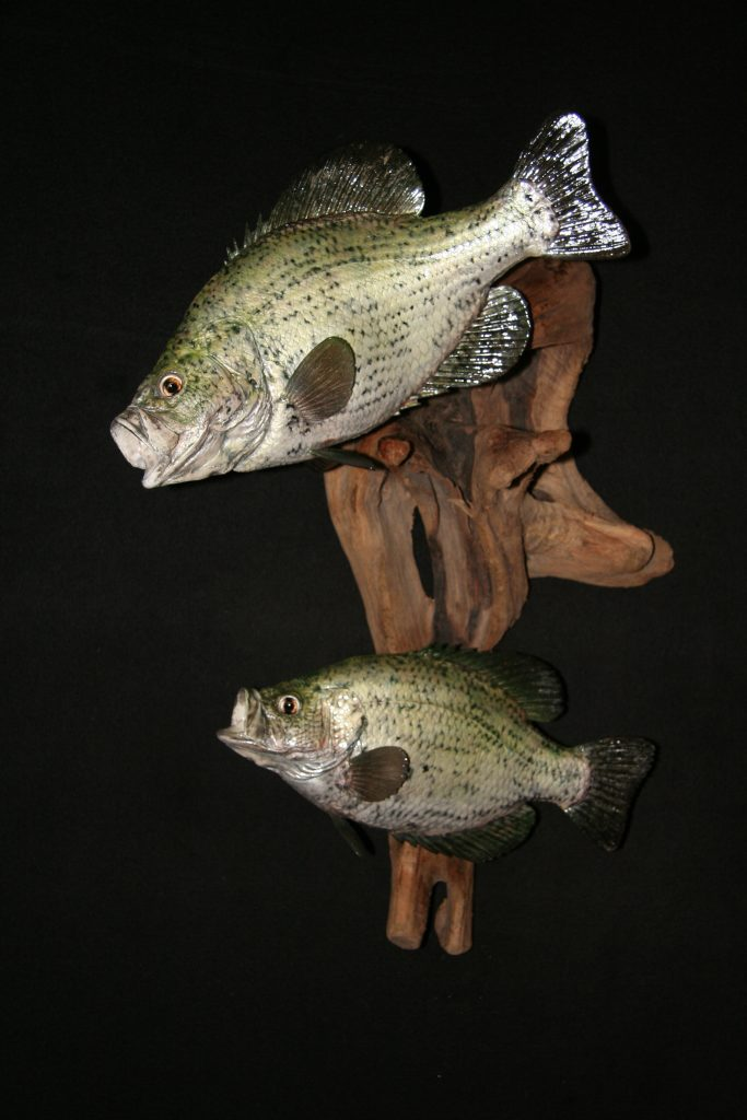 White Crappie Reproduction