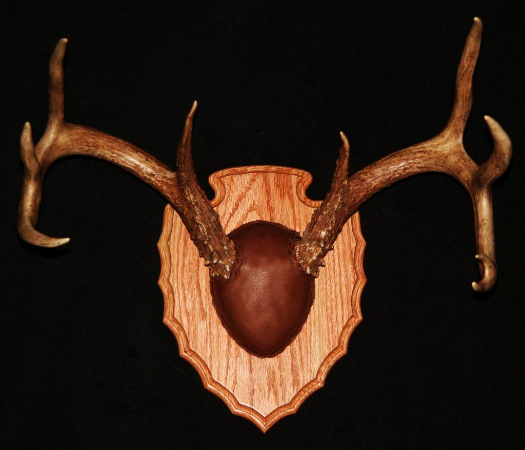Whitetail Antler Mount